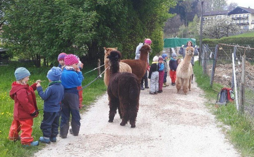 Wurzelkinder gehen mit Alpakas spazieren